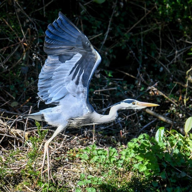 A grey heron takes flight
