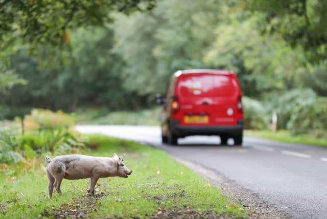 Pigs looking for acorns during Pannage at the New Forest