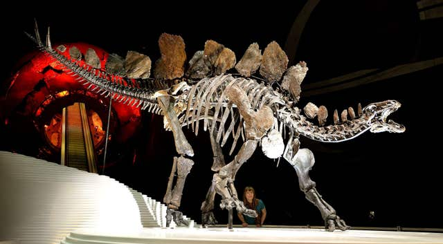 Stegosaurus fossil at the Natural History Museum – London