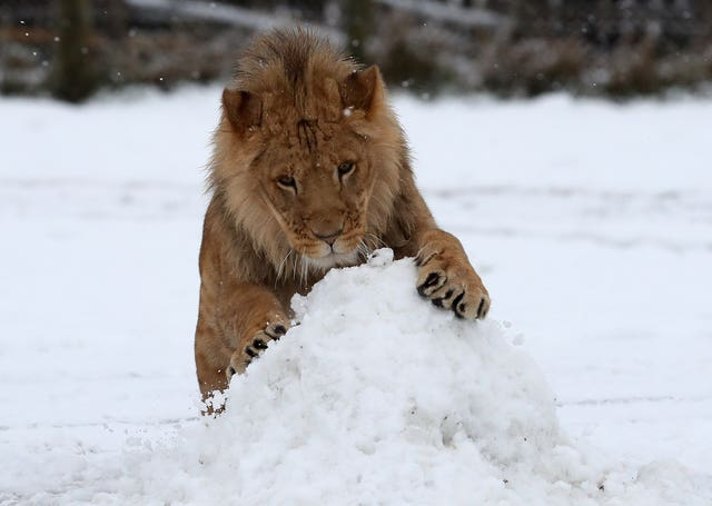A young lion playing at Blair Drummond Safari Park near Strirling after snowfall in Central Scotland. (PA)