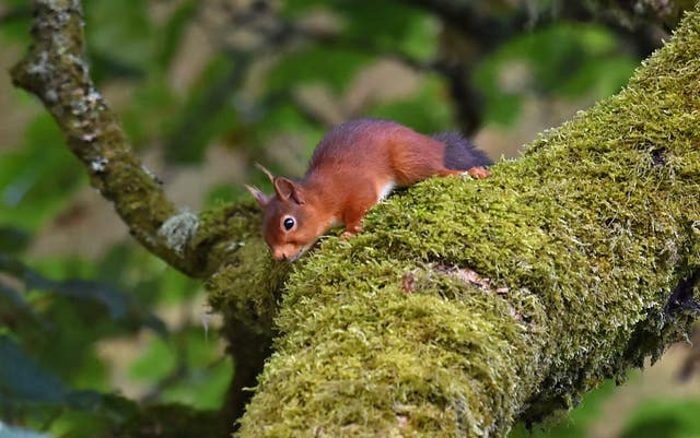 The presence of the pine marten could be good news for Kielder's red squirrels (Owen Humphreys/PA)
