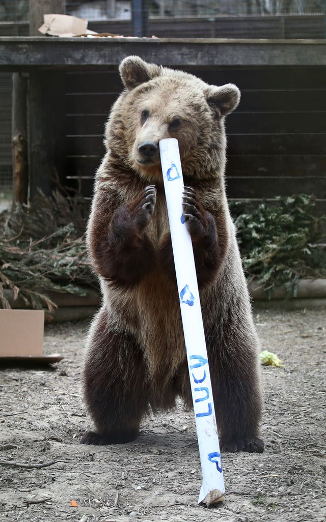 Rescued brown bear cub Mish explores gifts stuffed with his favourite treats ahead of a move from the Wildwood Trust in Kent to a forever home at the Trust's sister site, Escot in Devon