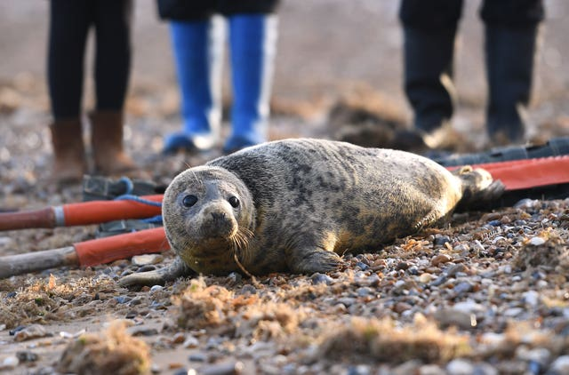 Gnasher is released back into the wild at Hunstanton beach