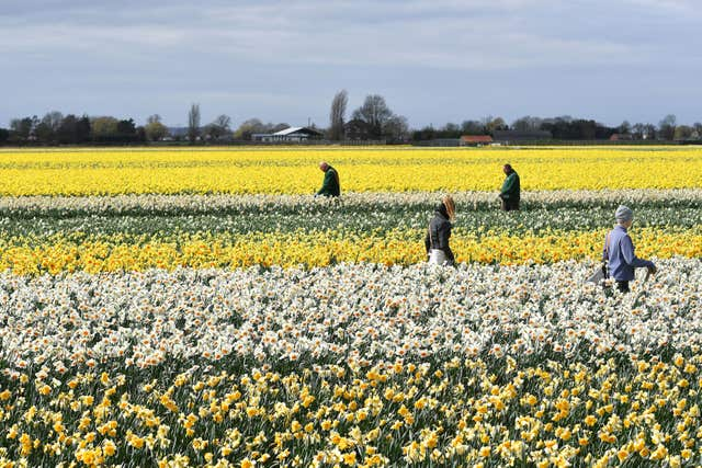 Workers make their way along rows of daffodils removing any rogue varieties at Taylors Bulbs in Holbeach, Lincolnshire (Joe Giddens/PA)