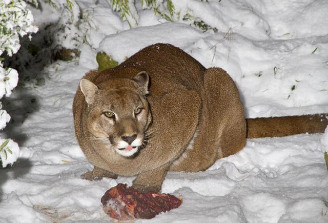 cougars in seattle