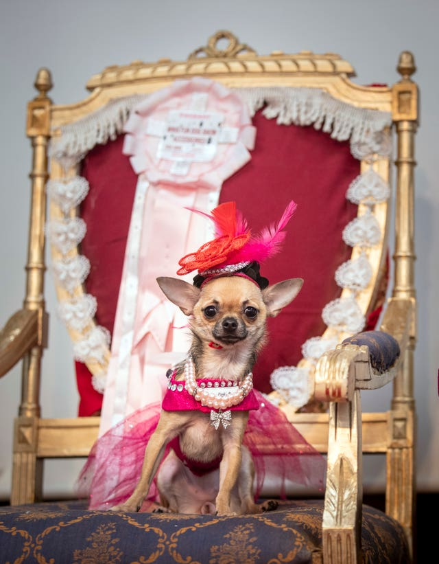 Dolly the Chihuahua sitting in her throne