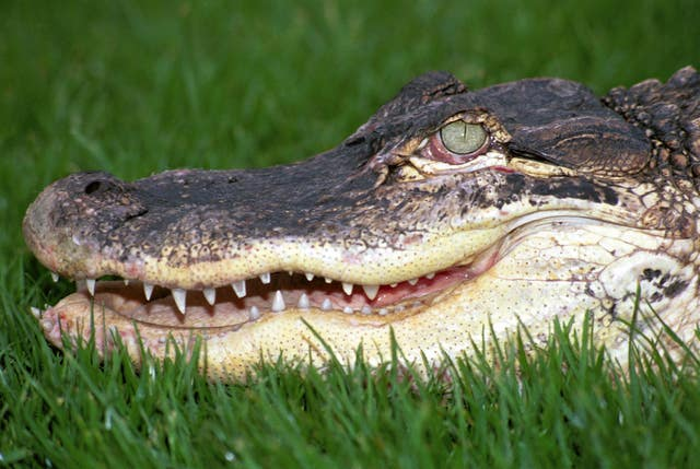 An alligator (Andrew Forsyth/PA)