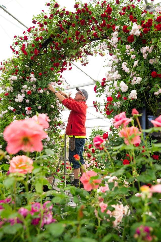 Roses being pruned
