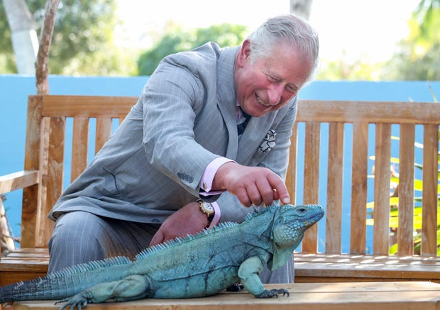 The Prince of Wales strokes a blue iguana at the Queen Elizabeth II Royal Botanic Park during his visit to the Cayman Islands