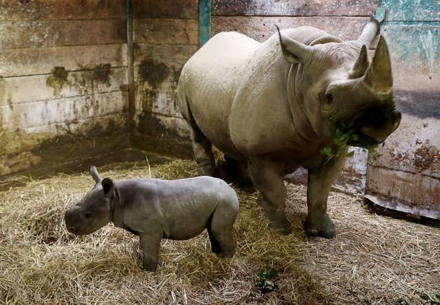 Black Rhino Kisima stands with her three-week-old calf  (Gareth Fuller/PA)