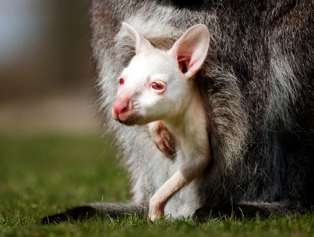 Albino baby wallaby