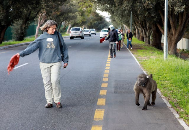 South Africa Bad Baboon