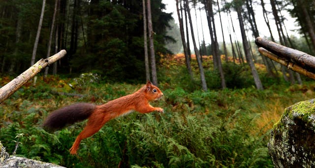 A Red Squirrel (Owen Humphreys/PA)