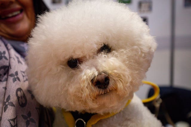 A Bichon Frise and its owner