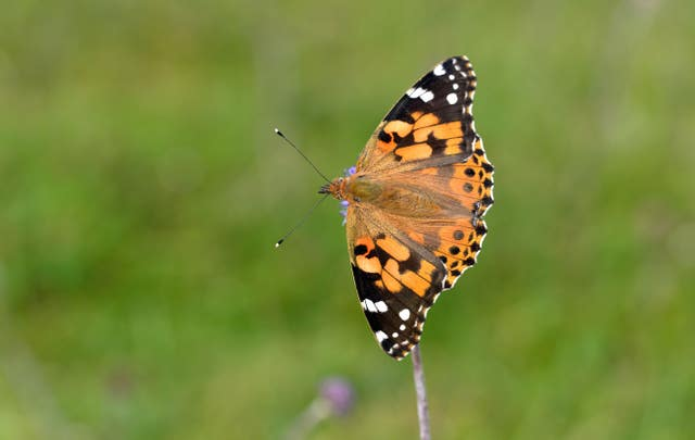 Painted lady butterfly influx