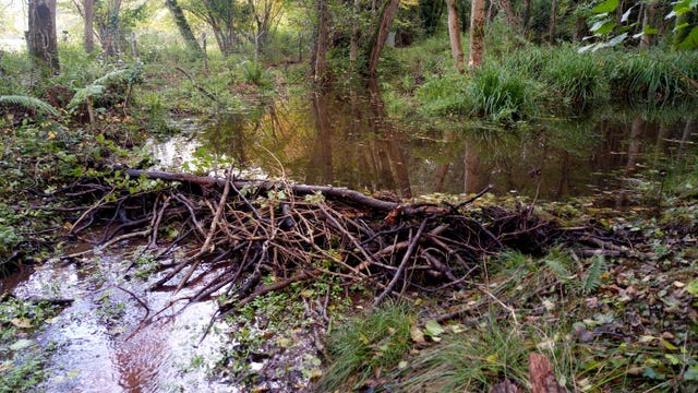 It is believed to be the first beaver dam on Exmoor for more than 400 years