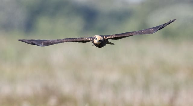 A juvenile marsh harrier