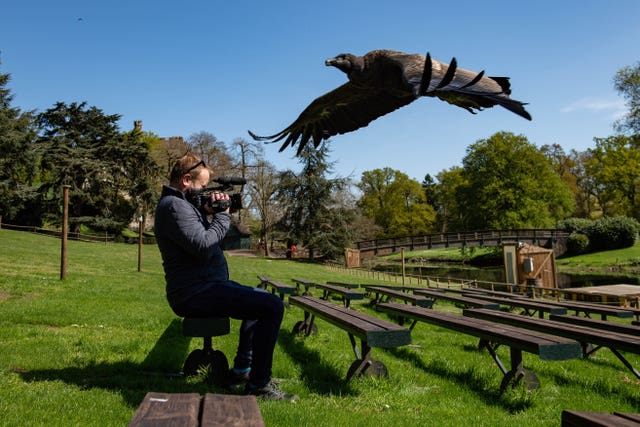 An Andean condor flies over a video journalist at Warwick Castle