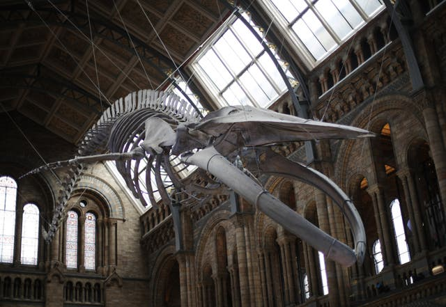 The blue whale skeleton at the Natural History Museum
