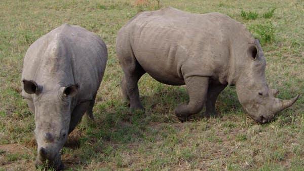 Scientists create embryos of near-extinct northern white rhino