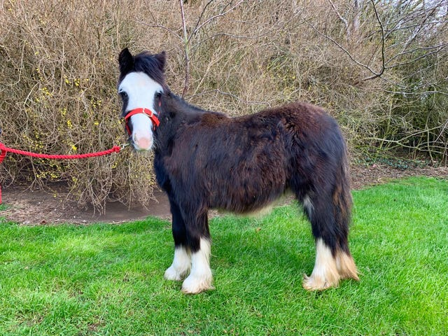 Paddy the pony is looking for a new home.