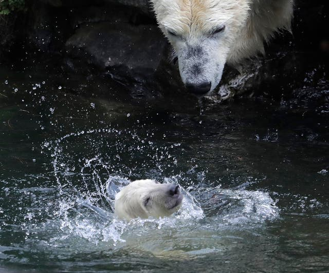 A female polar bear baby swims watched by its mother Tonja in their enclosure at the Tierpark zoo in Berlin
