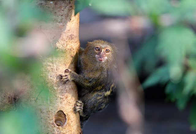 A Pygmy Marmoset in the Tropical House at Marwell Zoo in Hampshire (Andrew Matthews/PA)