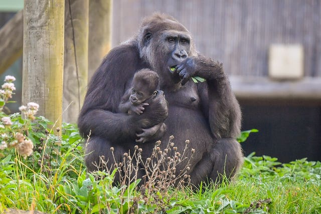 Gorilla family at Bristol Zoo