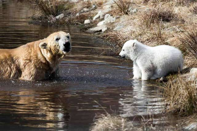 It was ideal conditions for a polar bear cub to take his first outdoor swim with his mother at a wildlife park near Kingussie (Highland Wildlife Park /PA)