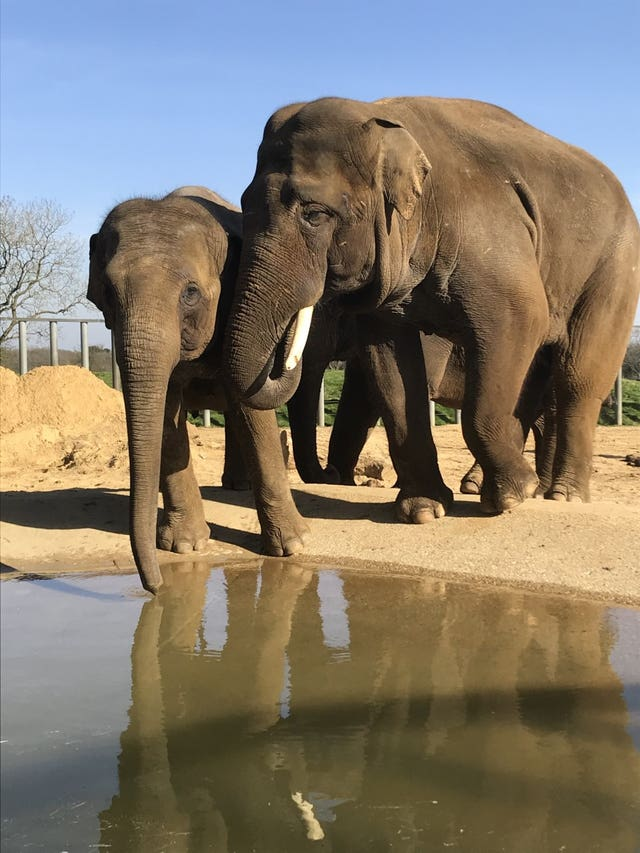 Whipsnade Zoo hopes for elephant pregnancy