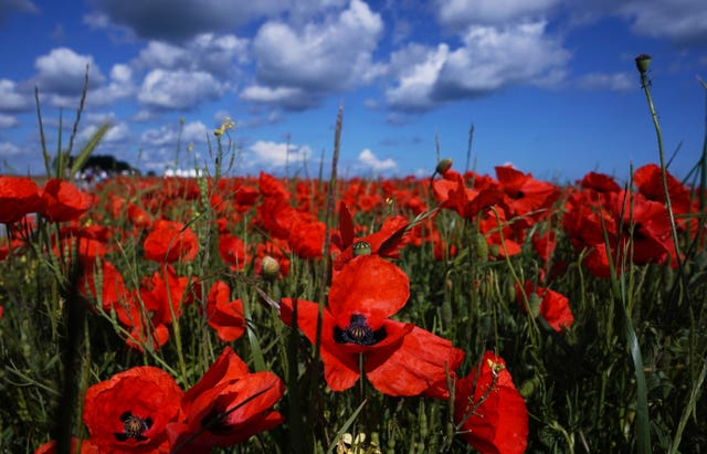 A field of poppies close to the British Normandy Memorial site in Ver-sur-Mer