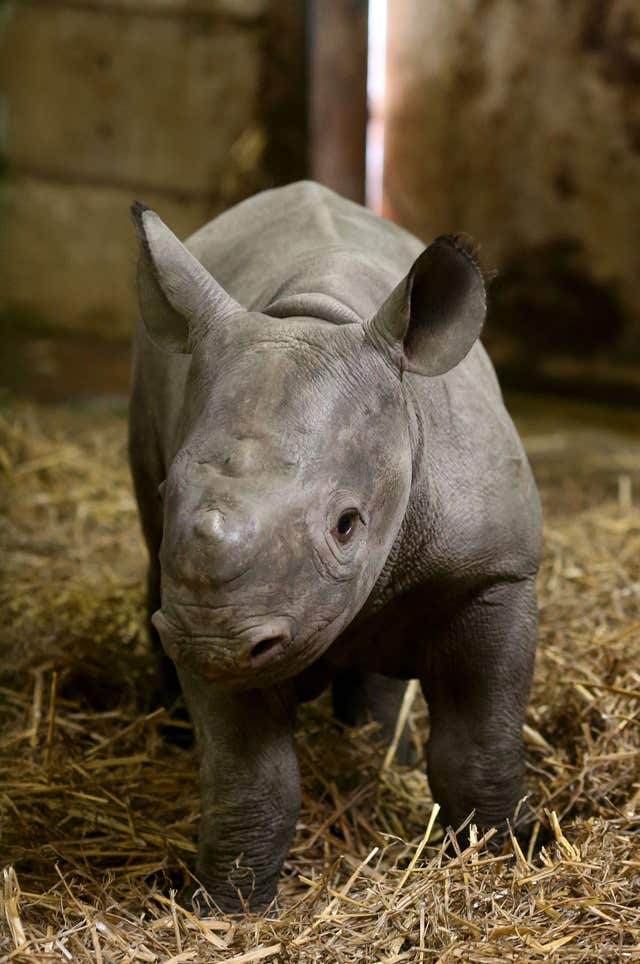 The Black Rhino calf explores his surroundings (Gareth Fuller/PA)