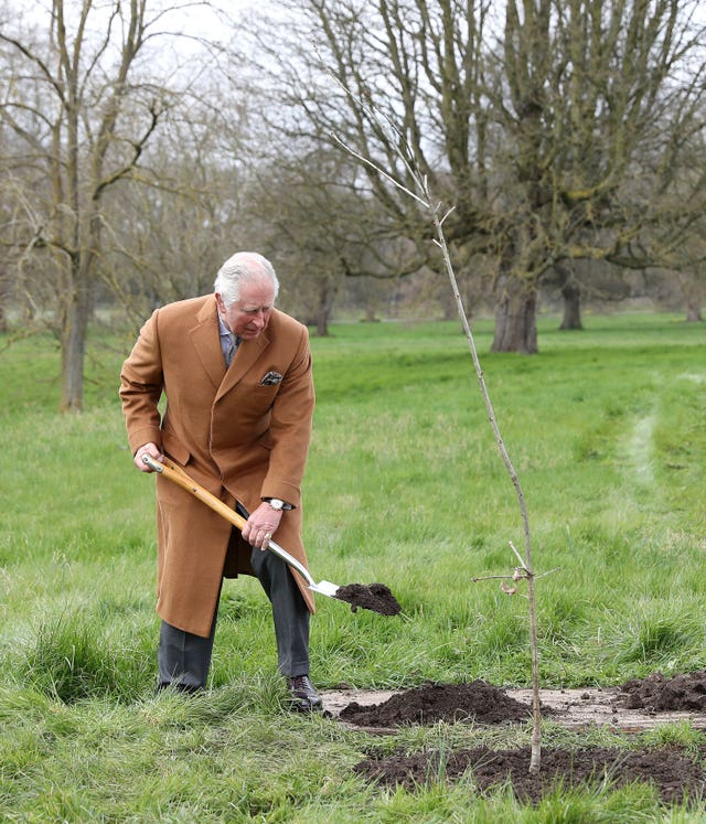 The Prince of Wales planting the first Jubilee tree to mark the Queen's platinum jubilee in the grounds of Windsor Castle