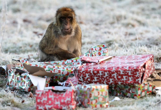 Barbary macaques at Christmas