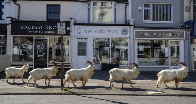 A herd of goats taking advantage of quiet streets near Trinity Square, in Llandudno, north Wales during the first lockdown in March