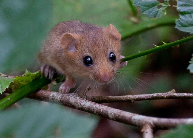 A dormouse on a branch