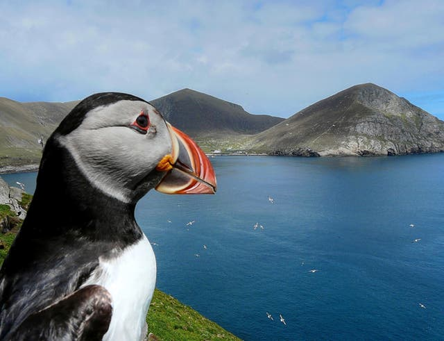 Puffin colony breeding figures down