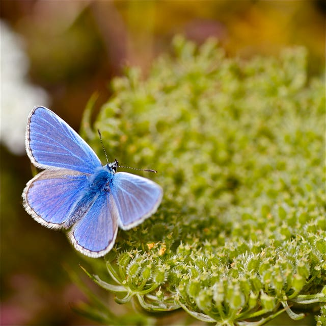 Common blue butterfly in decline