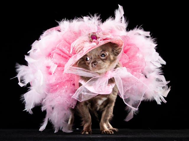 Show mascot Genevieve the Long Coat Chihuahua wearing a fairy dress