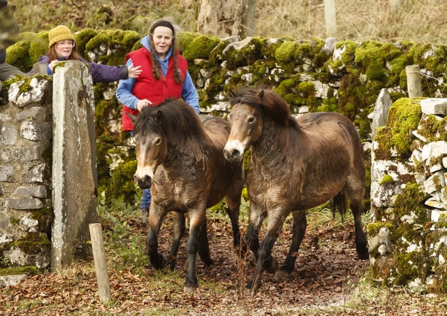Exmoor ponies released in Yorkshire Dales