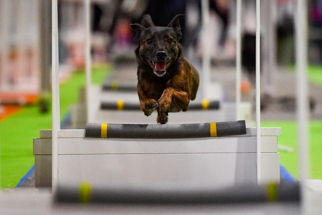 Dog on fly-ball course