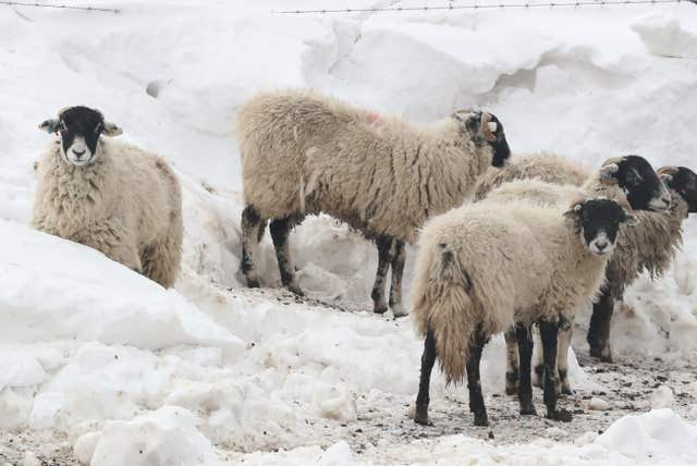 Sheep in a snow covered field near Tebay in Cumbria (Owen Humphreys/PA)