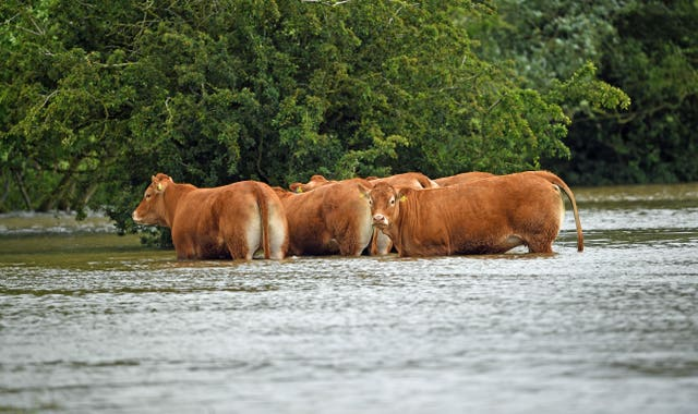 Cattle stranded in floodwater at Thorpe Culvert, near Wainfleet in Lincolnshire (Joe Giddens/PA)