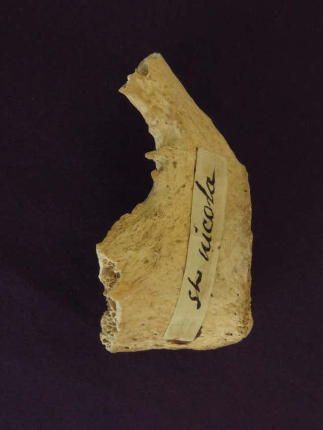 Bone fragment allegedly belonging to Father Christmas