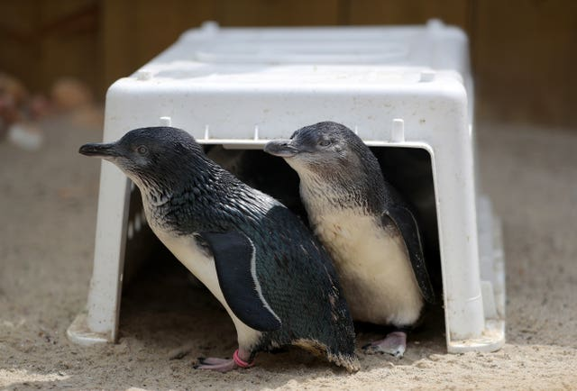 After their long journey from Australia, the fairy penguins are settling into their new surroundings (Andrew Matthews/PA)