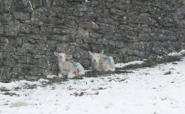 While lambs in Allendale proved they weren't too young to work out where the best shelter could be found (Owen Humphreys/PA)