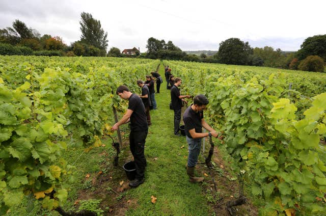 Winemakers hopeful for harvest