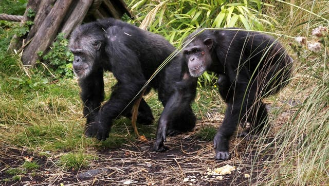 Chimpanzee groups integrated at Edinburgh Zoo