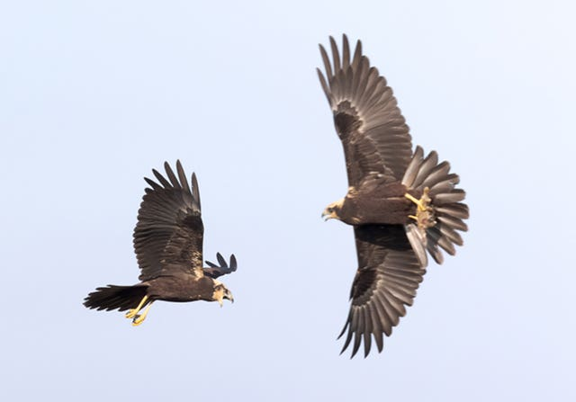 Two juvenile marsh harriers