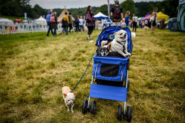 Chihuahuas enjoy the fine weather at the show